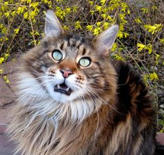 . http://www.mainecoonguide.com/male-vs-female-maine-coons/