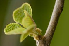kiwi bud starting to form
