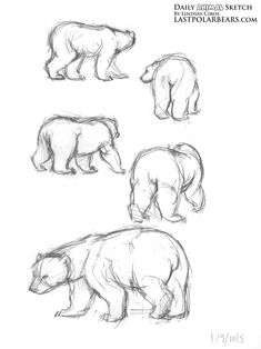 Image result for bear anatomy drawing