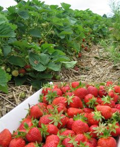 strawberry fields on the farm