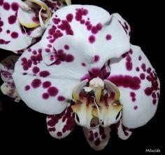 "Un coeur pour deux ! A heart for two ! Phalaenopsis ""Harlequin"" !"
