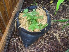planting potatoes in a trash bag