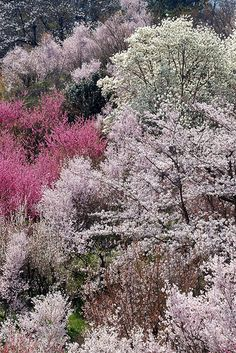 Hanamiyama 花見山....Japan