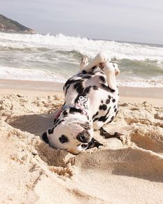 Fun on the beach. Cute Little Animals, Cute Funny Animals, Cute Dogs And Puppies, Pet Dogs, Doggies, Bild Tattoos, Dalmatian Dogs, Cute Creatures, Beautiful Dogs