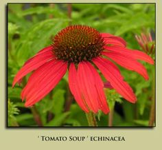 tomato soup echinacea