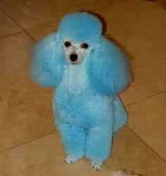 blue poodle - Buscar con Google