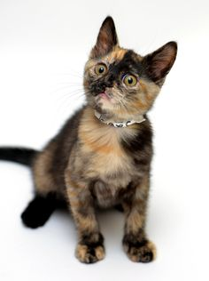 is that thing on? by Josh Norem on Cute Cats And Kittens, I Love Cats, Crazy Cats, Kittens Cutest, Pretty Cats, Beautiful Cats, Gato Calico, Calico Cats, Baby Animals