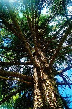 Skyward Spruce
