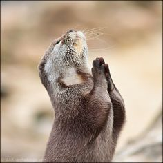 The otter is praying!