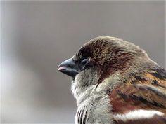 Sparrow Bird, House Sparrow, Blue Lion, Sparrows, Sea Creatures, Bird Houses, Cute Animals, Birds, Book
