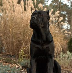 these dogs are cool looking! they are a weird breed of Mastiff