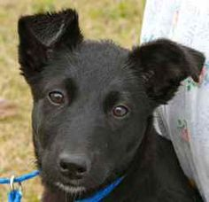 Kimmie is an adoptable Terrier Dog in Chipley, FL. Kimmie is a 4 to 6 month old female terrier cross, about 15 to 20 pounds. She has a wonderful personality and seems quite intelligent, perhaps with a...