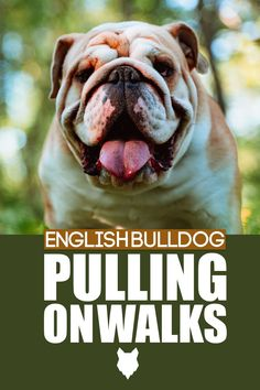 Going on a walk with you English Bulldog should be the best part of your day but it is not fun if they are pulling all the time. Today learn how to stop them pulling on walks. French Bulldog Breed, Bulldog Breeds, Best Dog Breeds, Best Dogs, The Perfect Dog, Medium Sized Dogs, Family Kids, Dog Care, Training Tips