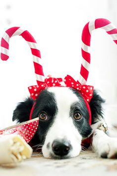 Candy cane antlers! So sweet! Pet Photograpy | Dog | Border Collie Puppy | Holiday Photo Session Idea