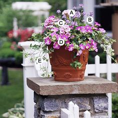 Create a Classic        Charming and old-fashioned in an elegant way, this design in its decorative terra-cotta container and will look good from spring to early fall.        A. Geranium (Pelargonium 'Maverick Star Pink') -- 1      B. Nemesia 'Blue Bird' -- 2      C. Nemesia 'Compact Innocence' -- 1      D. Petunia 'Supertunia Giant Pink' -- 3      E. Ivy (Hedera helix 'Anne Marie') -- 4