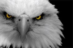 To see the powerful attitude we will have to see the powerful pictures of eagles that will give us the perfect idea about what we are saying. Eagle Face, Eagle Head, Eagle Images, Eagle Wallpaper, Cat Online, Powerful Pictures, Owl Pictures, Animal Posters, Spirit Animal