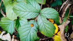 Ladybug on leaf at Elmstead Woods #EyesForLondon