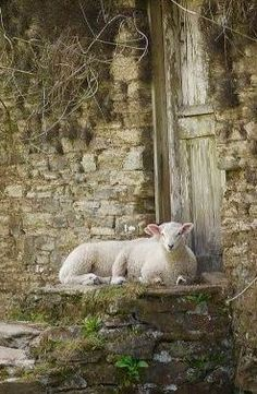 Lambs at the door