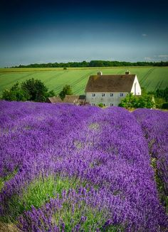love the lavender and the cottage