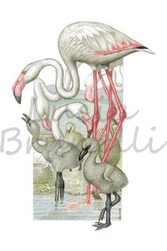 Fenicotteri rosa che vivono numerosi nelle zone paludose della Maremma toscana