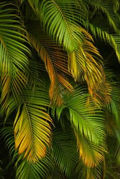 Palm Plant, Trees To Plant, Plant Leaves, Leaves Of Trees, Palm Tree Care, Palm Trees, Outdoor Flowers, Outdoor Plants, Potted Plants