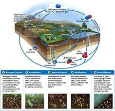 The nitrogen cycle Nitrogen Fixation, Ap Environmental Science, Nitrogen Cycle, Evolutionary Biology, Garden Terrarium, Biochemistry, Microbiology, Earth Science, Genetics