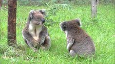 Koalas fighting - oder wie klingen eigentlich streitende Koalas? - http://www.dravenstales.ch/koalas-fighting-oder-wie-klingen-eigentlich-streitende-koalas/