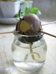 Grow Houseplants from Kitchen Scraps: Avocado: Check out the link for plants from apples, citrus and pineapple! #Houseplants #healthyhouseplants #Avocado