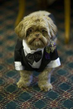 Shih Tzu Tuxedo for my wedding!