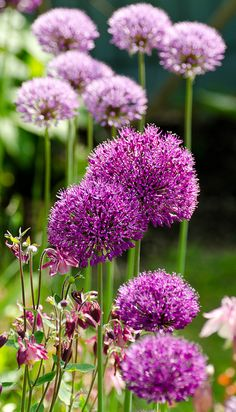 Shades of Pink Alium Flowers