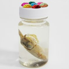 A Cuttlefish bottled in an alcohol solution.   All specimens were collected ethically, and no animals were killed for the purposes of collection.  All shipped specimens will be shipped dry, in the container shown.