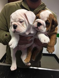 The major breeds of bulldogs are English bulldog, American bulldog, and French bulldog. The bulldog has a broad shoulder which matches with the head. Cute Bulldog Puppies, Super Cute Puppies, Cute Bulldogs, English Bulldog Puppies, Cute Baby Dogs, Cute Dogs And Puppies, Baby Bulldogs, English Bulldogs, French Bulldogs