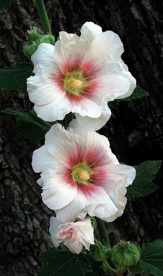 Hollyhocks - These were my dad's favorites.  I don't see these very often.
