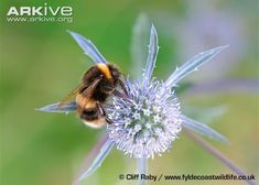 In contrast, bumblebees form colonies of just a few dozen individuals, potentially making them more vulnerable to impacts at the colony level. Description from blog.arkive.org. I searched for this on bing.com/images