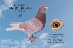 Internetová aukce holubů