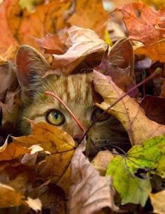 ♔ Cat in Leaves