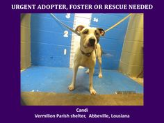 ***SUPER SUPER URGENT!!!*** - PLEASE SAVE CANDI!! - EU DATE: 3/19/2015 -- Candi Breed:Pit Bull Terrier Age: Adult Gender: Female Size: Medium Location: Kaplan, LA  Read more at http://www.dogsindanger.com/dog/1426367659846#vKWRVJYf32SccW4O.99 - If you have any questions please contact us at animalaidvermilion@gmail.com or (337) 366-0212 or visit our website animalaidvermilionarea.com for more information Read more at http://www.dogsindanger.com/dog/1426367659846#vKWRVJYf32SccW4O.99