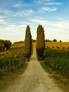 Late Summer Wine Scene in the Hills of Panzano, Tuscany, Italy