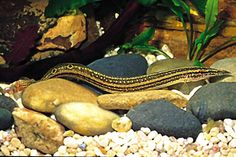 picture of Striped Peacock Eel Med Macrognathus aculeatus