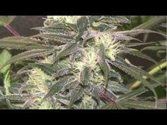 Medical Marijuana Grow - Week 7 Bloom: White Widow Bubblelicious (Pro-Grow X5 LED grow light)