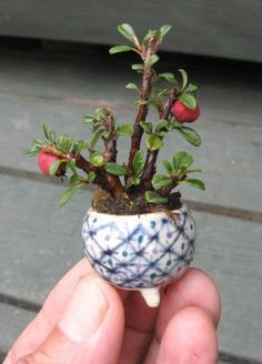 シロシタンの超ミニ盆栽の作り方