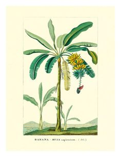 Banana Tree, Botanical Illustration, c.1855 Giclee Print by Ch. Lemaire at Art.co.uk