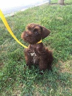 Miniature Schnauzer Puppies, Schnauzers, Giant Schnauzer, Schnauzer Puppy, Baby Animals, Funny Animals, Cute Animals, Cute Dogs Breeds, Dog Breeds