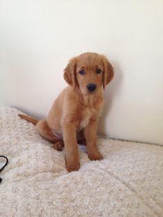 sweet Golden puppy