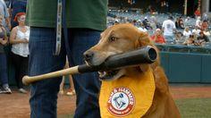 Golden Retrievers Derby & Rookie: The Trenton Thunder Batdogs