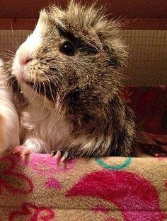Guinea Pig - rockin' the 'do!