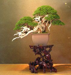 Stunning Juniper Bonsai at the Takamatsu Bonsai Convention 2014. #bonsai #japan