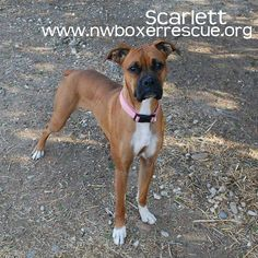 Miss Scarlett is a pretty 18 month old girl being fostered in Tacoma WA. Find out more about her on our website - www.nwboxerrescue.org or our Facebook page -   www.facebook.com/northwestboxerrescue