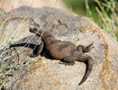 Common Chuckwalla (Sauromalus ater), the second largest lizard in the United States, the Mojave Desert of Southern California, USA