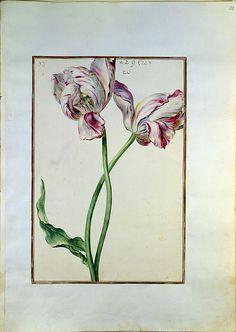 """Aquarell aus dem """"Karlsruher Tulpenbuch"""". Papier; Karlsruhe; um 1730 Badische Landesbibliothek, Blatt 33"""
